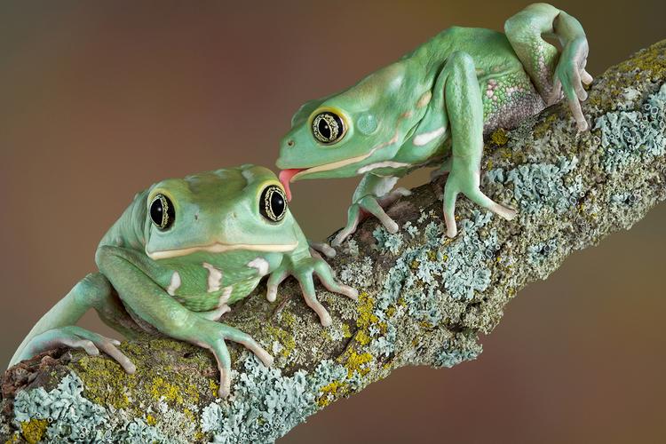 Frog Tongues May Be the Key to Stronger Adhesives [Study]