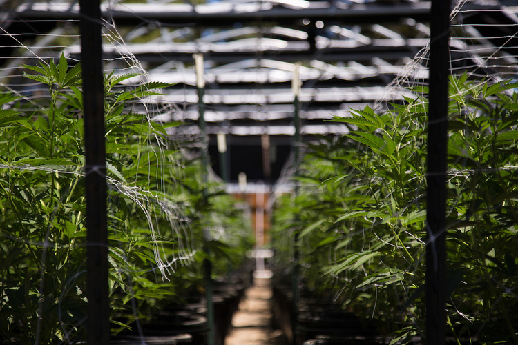 How the Cannabis Industry Is Changing the Modern Supply Chain