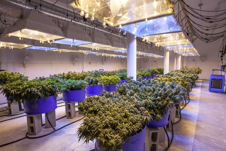 Cannabis Grow Room Design Considerations